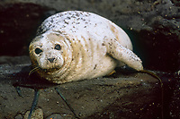 Harbor Seal (Phoca vitulina) hauled out of the water and resting, San Juan Islands, Washington, USA, Pacific Ocean
