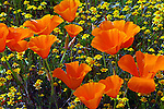 FB-M41    CA poppies and goldfields.  Photo magnet
