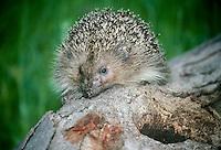 Eurpoean hedgehog or  Common hedgehog close up
