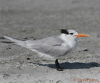 0711-0801  Royal Tern, Thalasseus maximus maximus (syn. Sterna maxima) © David Kuhn/Dwight Kuhn Photography