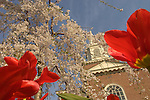 Bucknell University, Lewisburg, PA, Spring 07'.Rooke Chapel thru tulips and flowering weeping cherry