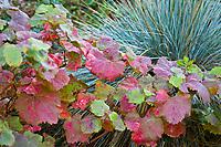 Vitis californica, California wild grape vine in red fall (autumn) color in garden with Blue Oat Grass (Helictotrichon)
