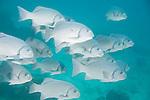 Punta Cormoran, Floreana Island, Galapagos, Ecuador; a polarized school of Dusky Chub (Girella freminvilli) fish swim in blue water above the rocky reef , Copyright © Matthew Meier, matthewmeierphoto.com All Rights Reserved