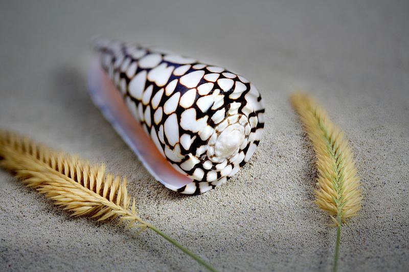 Concus Marmoreus sea shell and decorative grass.