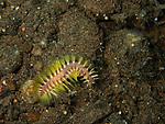 bristle worm Bali, Indonesia 2018