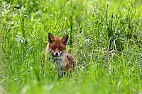Rotfuchs, Rot-Fuchs, Fuchs, Vulpes vulpes, red fox, Le Renard roux, Renard commun, Renard rouge