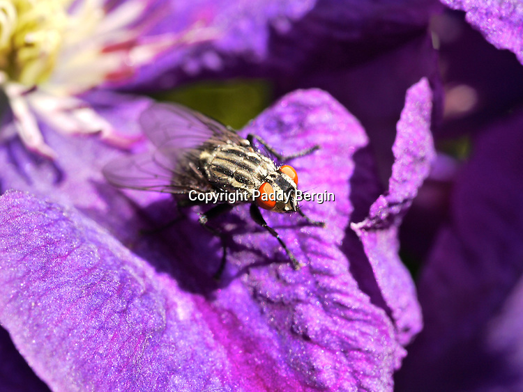 A close up of a Fly enjoying the sun on a Clematis petal. The closeness shows the large eyes of the Fly.<br /> <br /> Stock Photo by Paddy Bergin