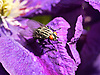 A close up of a Fly enjoying the sun on a Clematis petal. The closeness shows the large eyes of the Fly.<br />