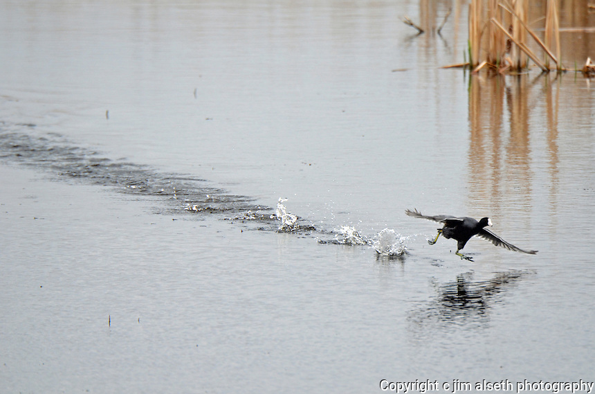 This American Coot captured in a rather comical takeoff..