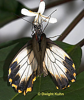 LE45-517z  Great Mormon Swallowtail Butterfly, Papilio memnon, Southeast Asia