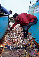Artisanal fishing, commercial fishing, overfishing, Fishermen sorting Shrimp and bycatch on shrimp dragger. Maputo, Mozambique, Africa, Indian Ocean