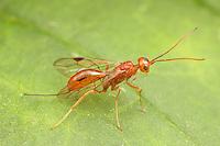 An Aulacid Wasp (Aulacus burquei) perches on a leaf.