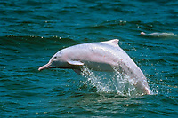 Chinese white dolphin, Indo-Pacific humpback dolphin, Sousa chinensis, jumping, Hong Kong, South China Sea, Pacific Ocean
