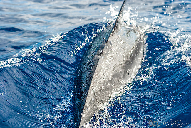 Dolphin in Niue