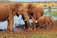 African elephants (Loxodonta africana) enjoying a mud hole.  Africa.