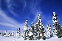 Snow covered spruce trees and boreal forest in Alaska's Arctic.