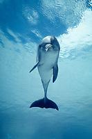 bottlenose dolphin ( c ), Tursiops truncatus