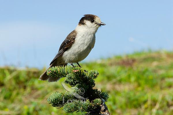 Gray Jay (Perisoreus canadensis).  Pacific Northwest.