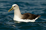 Buller's Albatross (Thalassarche bulleri) on water, Kaikoura, South Island, New Zealand