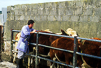 Irish vet gives shots to the cattle, County Clare, Ireland