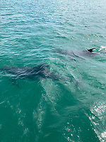 BNPS.co.uk (01202 558833)<br /> Pic: PhilipPalmer/BNPS<br /> <br /> Video download link: https://we.tl/t-v61YROkoPF.<br /> <br /> Pictured: Dolphins in the water.<br /> <br /> This is the amazing moment two dolphins put on an acrobatics display for thrilled revellers in a British bay.<br /> <br /> The friendly mammals chased after a power boat and then leapt 6ft out of the water, crossing over each other, right next to it.<br /> <br /> The charming scene was captured during an outing in Swanage Bay, Dorset, by a local watersports activity company.<br /> <br /> Phil Palmer, 38, of Pierhead Watersports, said the dolphins followed their boat, which was towing a rubber ring, all day.