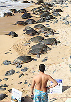 A man observes endangered Hawaiian green sea turtles (or honu) resting at Ho'okipa Beach, Maui.