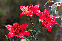 Raindrops on Wood Lilies (Lilium philadelphicum) blooming in Spring - aka Western Red Lily