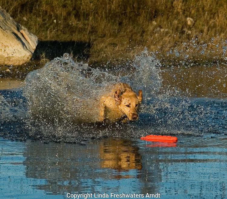 Yellow Labrador retriever (AKC) retrieving an orange dummy.  Fall. Winter, WI.