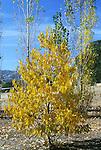 12860-CS American Persimmon Autumn Color, male tree, Diospyros virginiana, October, dioecious, w/ Lombardy Poplars, at Mourning Cloak Ranch, Tehachapi, CA USA.