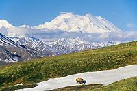 Grizzly bear, tundra and Denali, Denali National Park, Alaska