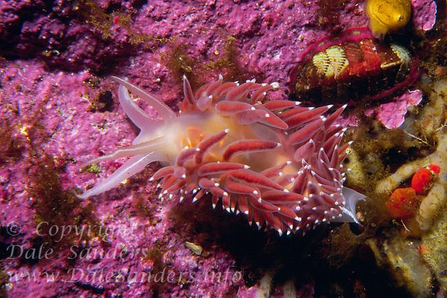 Red-Gilled Nudibranch (flabellina verrucosa), British Columbia, Canada.