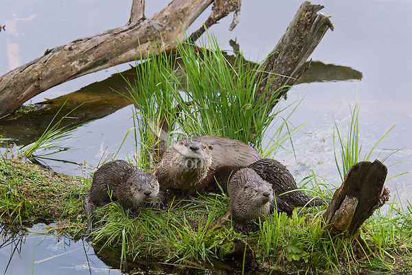 Northern River Otter (Lontra canadensis) family--mother and three pups.  Western U.S., summer..