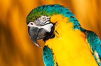 Beautiful blue and gold macaw close-up with blurred gold background, on Watson Island, near Miami Beach, Florida USA