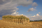 View of partially harvested corn, Union County