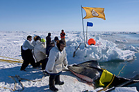 residents of the Inupiaq village of Barrow help the ABC whaling crew pull up a 48 foot 8 inch bowhead whale, Balaena mysticetus, catch, Chukchi Sea, Arctic Alaska