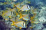 Anisotremus virginicus, Porkfish, Florida Keys