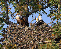 Three adult bald eagles from the Llano, TX nest 2003-2007.
