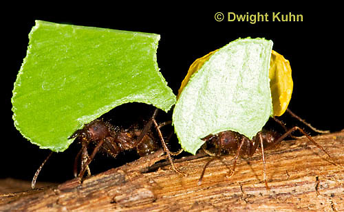 AN14-503z  Leafcutter Ants carrying leaves to nest, Atta mexicana
