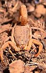 Butthus occitanus scorpion, Turkey