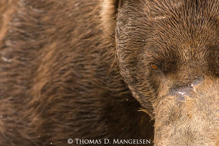 A portrait of a coastal brown bear in Katmai National Park, Alaska.