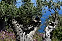 Olivenbäume bei Tusa, Sizilien, Italien