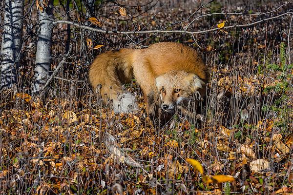 Red Fox (Vulpes vulpes) showing aggressive/threatening behavior--laid back ears--near the Yukon/British Columbia border.  Sept.