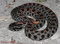 0710-0805  Dusky Pygmy Rattlesnake, Sistrurus miliarius barbouri © David Kuhn/Dwight Kuhn Photography