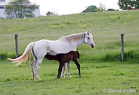 0509-0904  Grey Dutch Warmblood Horse, Mare with Nursing Foal, Equus ferus caballus  © David Kuhn/Dwight Kuhn Photography