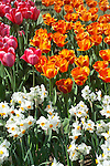 a closeup springtime image filling the frame with pink and yellow tulips and multi-bloomed white daffodils with yellow centers clustered on single stems in a commercial field display garden in Mt. Vernon, WA in the Skagit Valley of Washington state