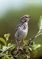 SW09-012z  Savannah Sparrow - Passerculus sandwichensis