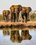 African bush elephants (Loxodonta africana) approach a waterhole, Mashatu Reserve, Botswana<br /> <br /> Canon EOS-1D X, EF24-105mm f/4L IS USM lens, f/16 for 1/800 second, ISO 2000