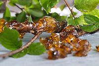 Baumharz von Kirsche, Kirschharz, Harz, Harztropfen, Harzernte, Harz sammeln, liquid pitch, tree gum. Vogel-Kirsche, Vogelkirsche, Kirsche, Süß-Kirsche, Süss-Kirsche, Süsskirsche, Süßkirsche, Wildkirsche, Wild-Kirsche, Prunus avium, Gean, Mazzard, Wild Cherry, Le merisier, cerisier des oiseaux