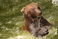 Braunbär nimmt ein Bad und spielt im Innsbrucker Alpenzoo - Innsbruck 03.06.2021: Alpenzoo
