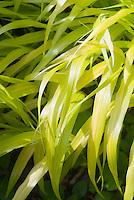 Hakonechloa macra Allgold, yellow foliage ornamental grass, Hakone grass perennial, shining leaves in sun